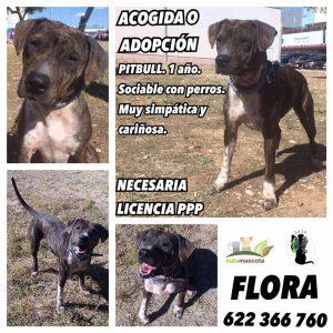 FECHA DE ENTRADA: 15/07/15 RAZA: Pitbull TAMAÑO: 20kgs. EDAD: 2 años. CARÁCTER: sociable con perros. Muy cariñosa y obediente con personas. Apta con niños. GATOS: no testada. ENFERMEDADES: sana. HISTORIA + FOTOS: https://www.facebook.com/pg/salvandoangelessinalas/photos/?tab=album&album_id=346188442395839