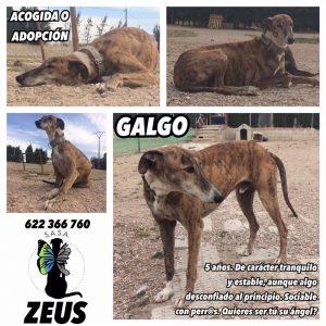 FECHA DE ENTRADA: 29/01/17 RAZA: Galgo español TAMAÑO: 30kgs EDAD: 15/03/12 CARÁCTER: Es un perro algo desconfiado al principio, pero que en cuanto le das 2 salchichas lo haces tuyo para siempre ❤️ GATOS: No apto. ENFERMEDADES: Sano CASTRADO: Sí HISTORIA + FOTOS: https://www.facebook.com/pg/salvandoangelessinalas/photos/?tab=album&album_id=506505929697422