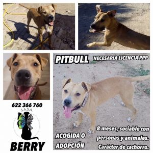 FECHA DE ENTRADA: 04/08/17 RAZA: Pitbull TAMAÑO: 25kgs EDAD: 01/01/17 CARÁCTER: Sociable con perros y personas. Carácter típico de cachorro. GATOS: No testado. ENFERMEDADES: Sano CASTRADO: Sí HISTORIA + FOTOS: https://www.facebook.com/pg/salvandoangelessinalas/photos/?tab=album&album_id=504436936570988